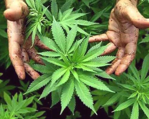 die besten Marihuana-Pflanzen