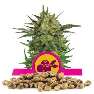 Haze Berry-Samen In Großmenge