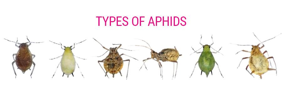 Arten von Blattläusen