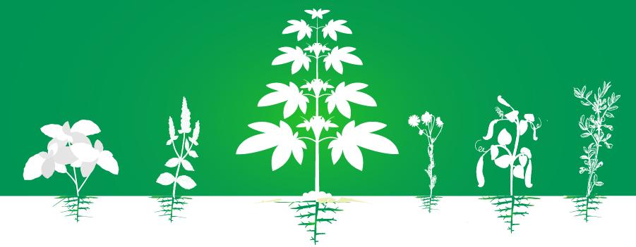 Begleiter Cannabis Plantage Anbau Erhöhung Effizienz organisch