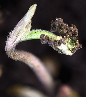 12/12-Lichtzyklus Anbaut cannabis