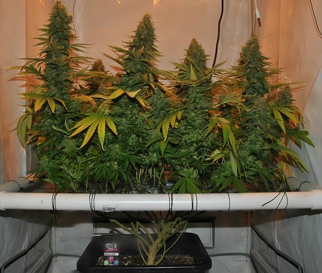 Wachsende Cannabis Mit Der Scrog Screen Of Green Methode