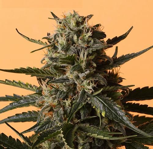 Shining Silver Haze Feminisierten Cannabissamen