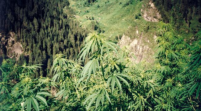 Cannabis UV-Licht