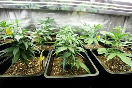 12/12 cannabis