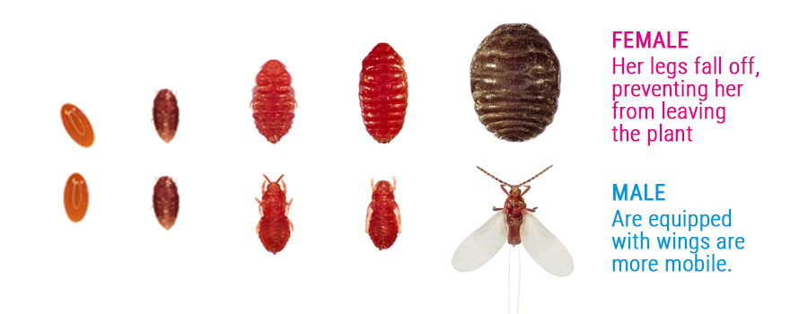 Cochineal pest