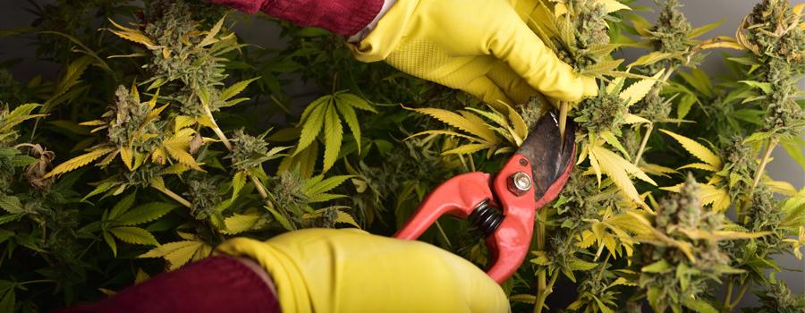 Cannabis schneiden