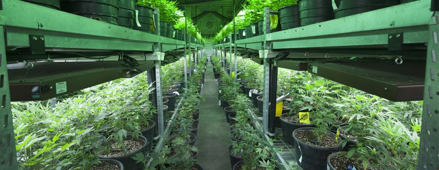 Cannabis-Indoor-Anbau