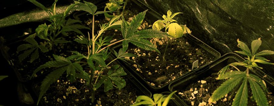 Klon Royal Queen Seeds