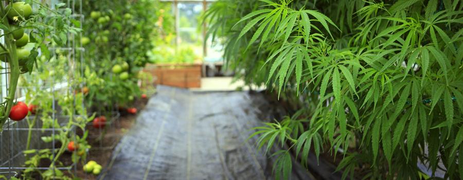 Kultivierung nach Hause Cannabis Deutschland