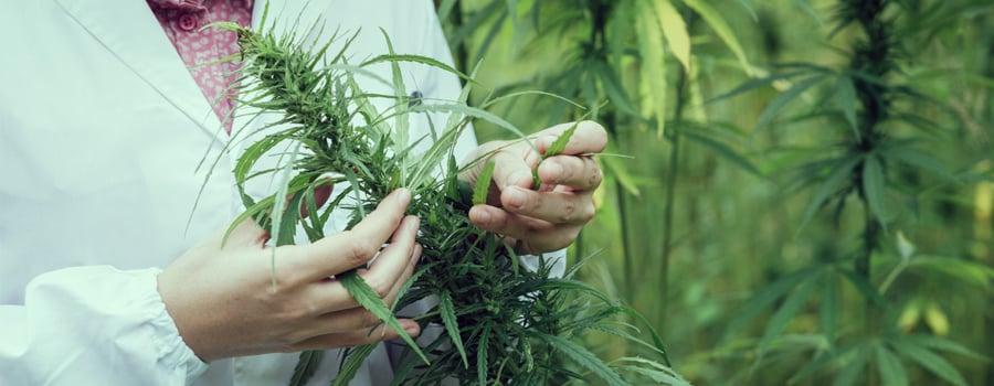 Medizinische Marihuana-Cannabis-Stamm bipolare Störung Behandlung
