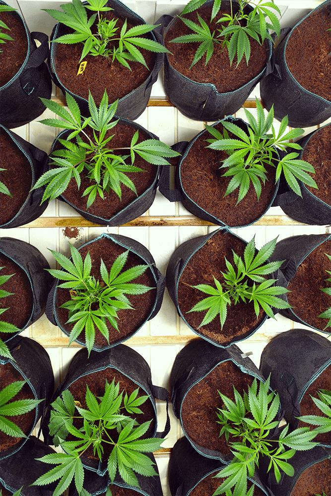 Cannabis im Freien Transplantation Schock minimieren gebrochen Wurzeln Abstand Pflanzen Cannabis