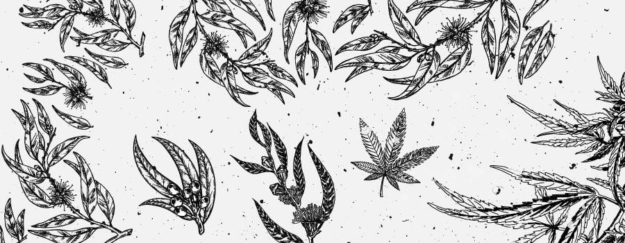 Eukalyptol Cannabis Terpen