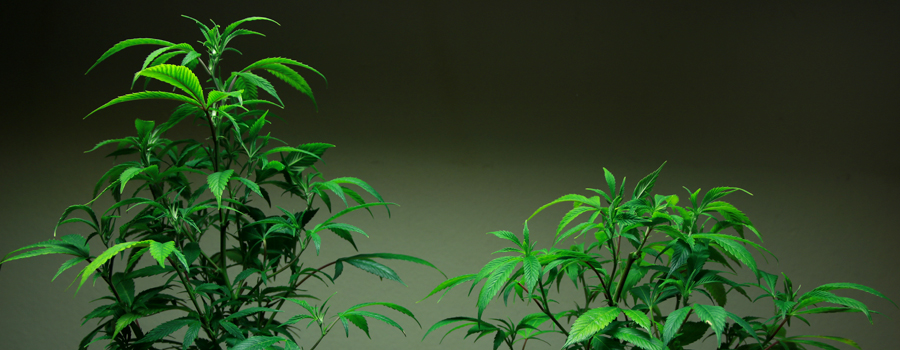 Vergleich Topping Cannabis Pflanze