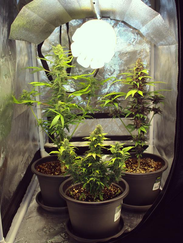 Mikro-wachsenden Cannabis indoor kleinen Raum