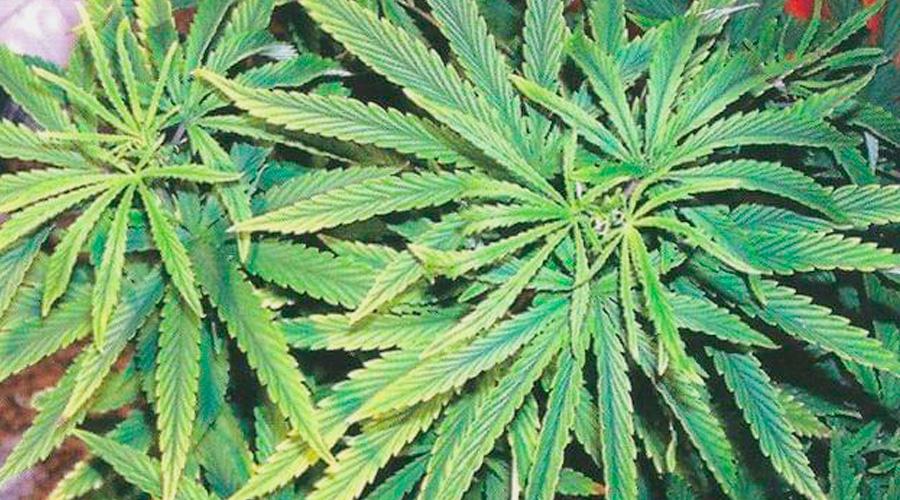 Eisen Marihuana