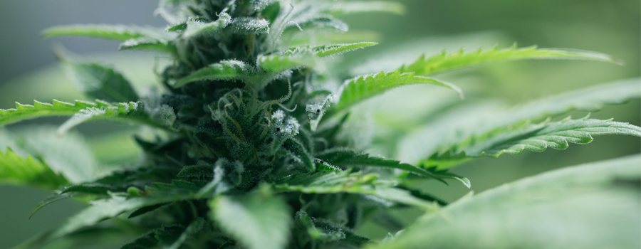 Kompakte Pflanze Cannabis autoflowering