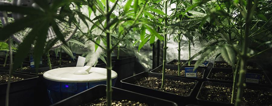 was zu tun ist wenn deine cannabispflanzen zu hoch. Black Bedroom Furniture Sets. Home Design Ideas