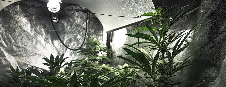 Beleuchtung Indoor Cannabis Anbau