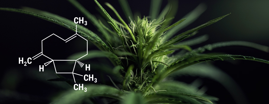Beta-Caryophyllene-Cannabis-Pflanze