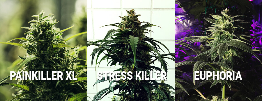 Cannabis Euphoria, Painkiller XL Und Stress Killer
