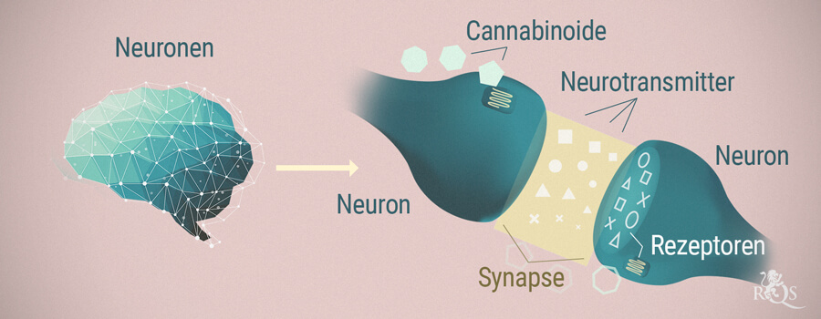 Neuronen, Cannabinoide und Neurotransmitter