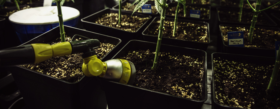 cannabisanbau im grow room relative luftfeuchtigkeit und temperaturen royal queen seeds rqs. Black Bedroom Furniture Sets. Home Design Ideas