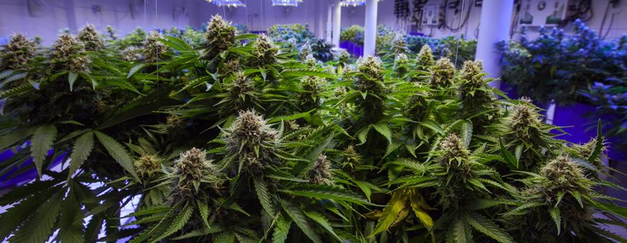 Cannabis industrie deutschland