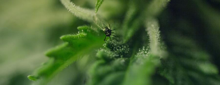 Pest-Cannabis-Pflanzen