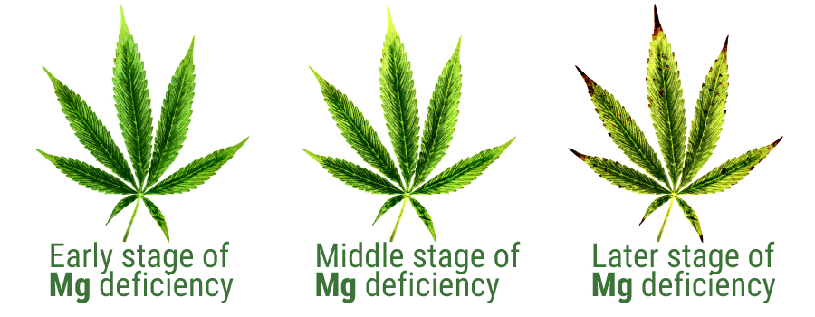 magnesium deficiency cannabis leaf
