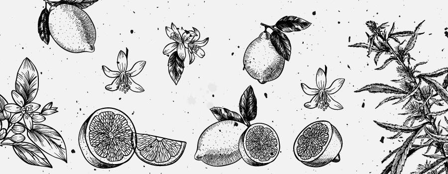 Limonen Cannabis Terpene