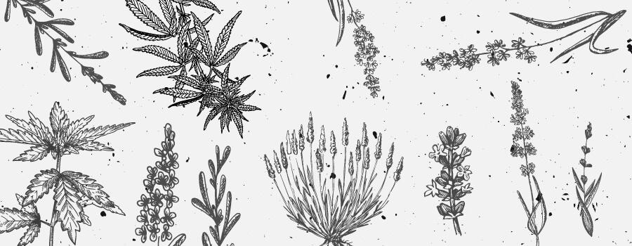 Linalool Cannabis Terpene