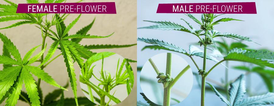 Zwitter pflanzt Vergleich männlichen und weiblichen Pre Cannabis-Blume
