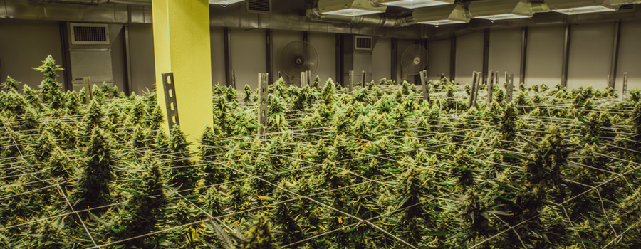 Cannabis-Industrie Legalisierung USA Kalifornien neue Marktrecht Trump