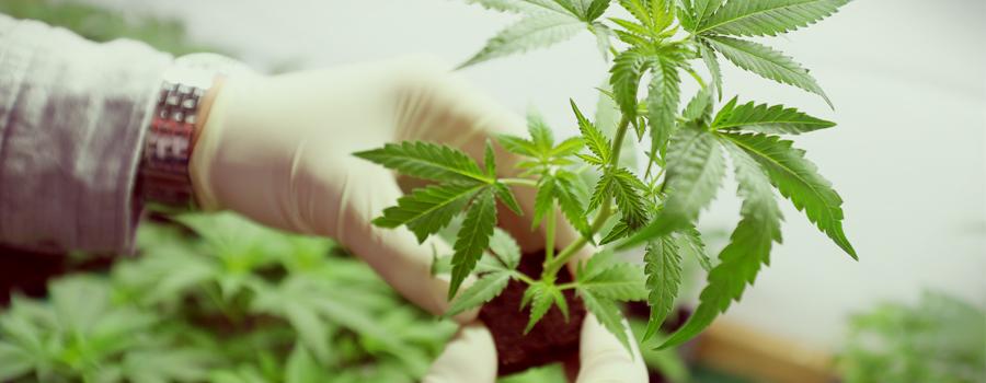 Cannabis Bundesamt Deutschland