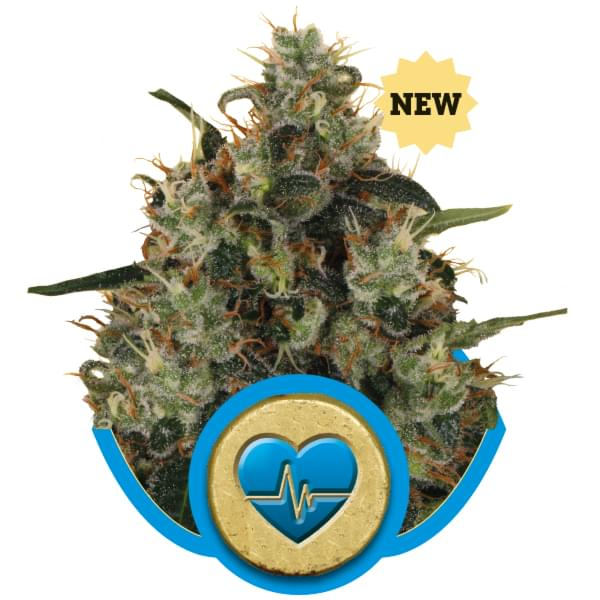 Medical Mass CBD Hanfsamen