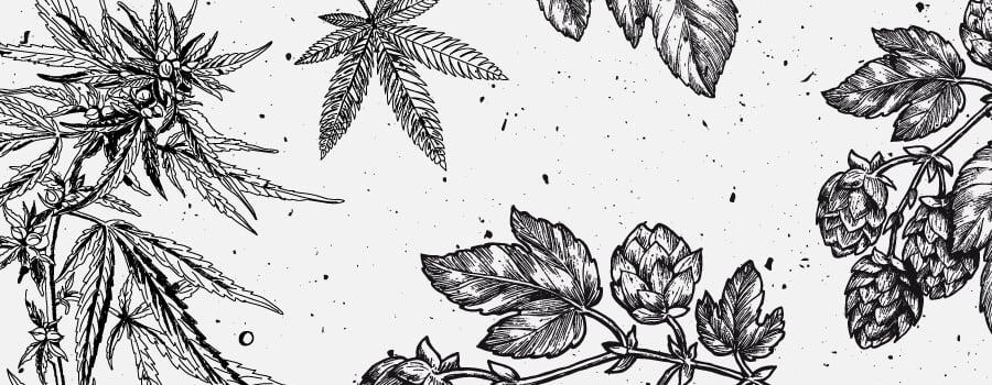 Myrcen Cannabis Terpene