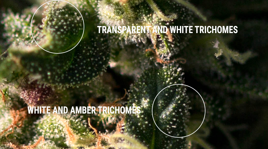 Trichomes Haschisch-Harz extrahiert Konzentrate