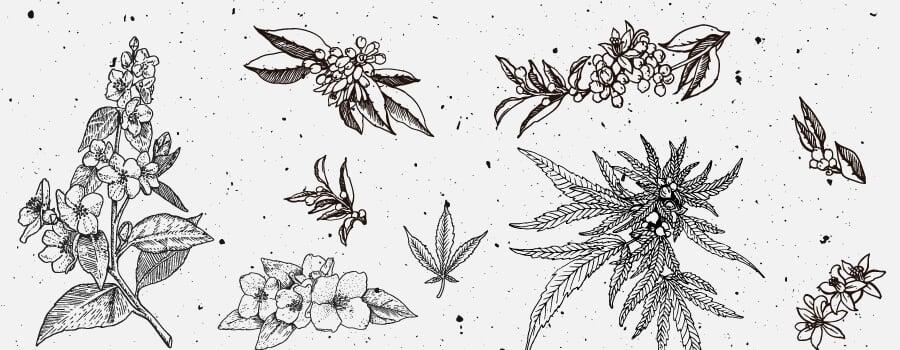 Nerolidol Cannabis Terpene