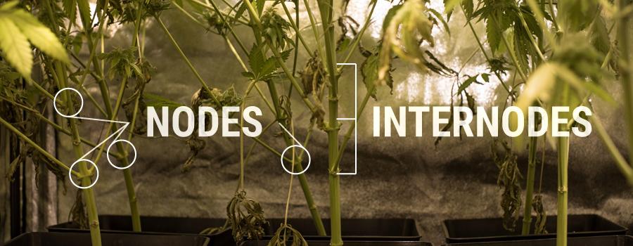 Nodes Internodes Cannabis Pflanzenstruktur