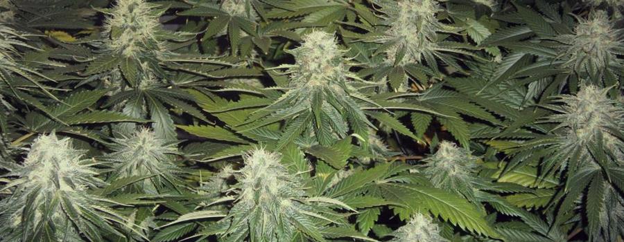 Og Kush cannabis insomnia