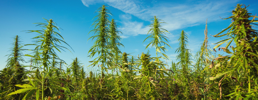 Permakultur Landwirtschaft Cannabis natürliche Integration Begleiter Pflanzung