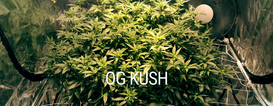 Og Kush Royal Queen Seeds Training SCROG