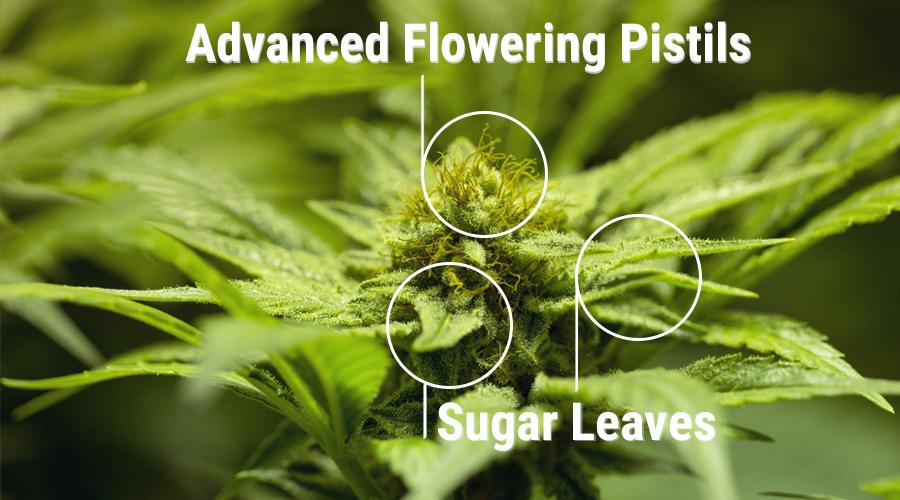 Zucker Blätter Knospe Cannabis Pflanze Harz Cola