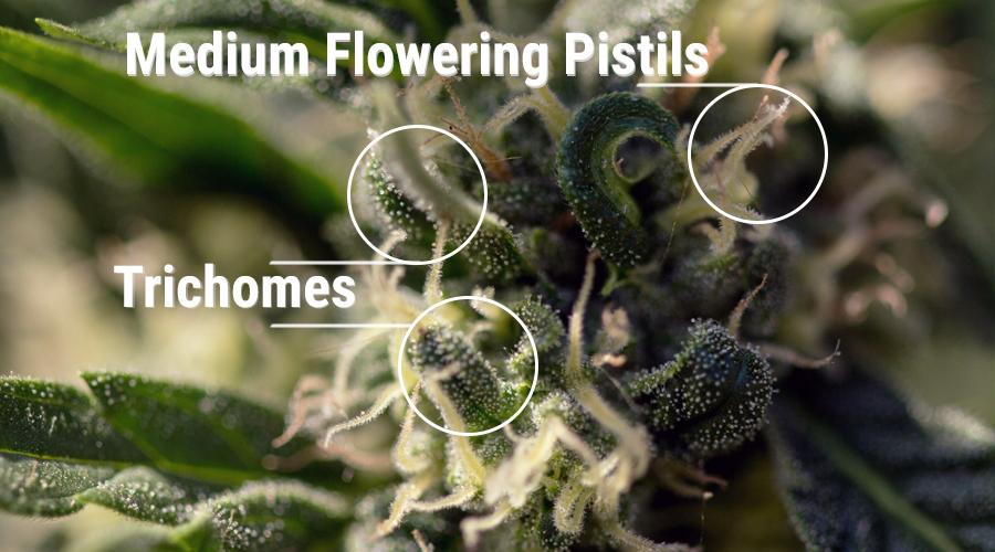 cannabinoide stempeln cannabispflanze