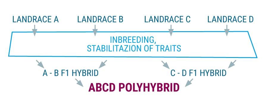 Polyhybrid-Landrassen-Cannabis-Stämme