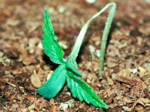 Pythium-Pilz Pflanzen Cannabis Problem Erkennung