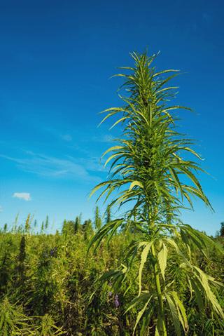 Permakultur Landwirtschaft Cannabis natürliche Integration Begleiter Bepflanzung