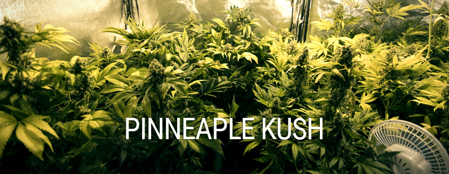 Pineapple Kush Royal Queen Seeds indoor growing