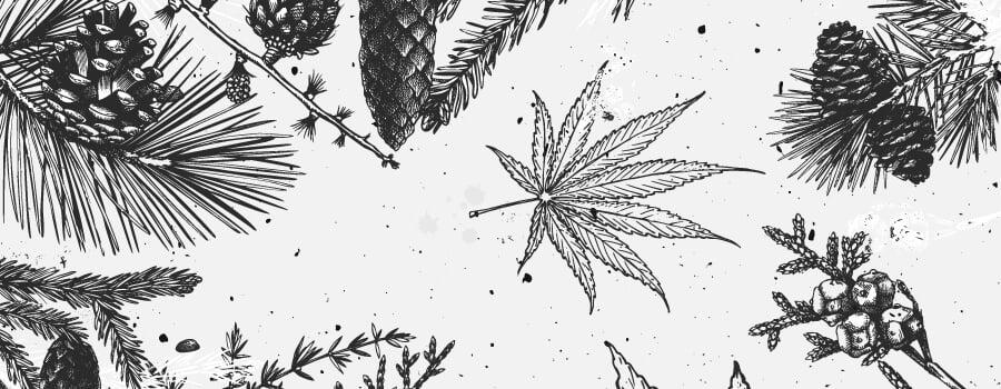 Pinen Cannabis Terpene